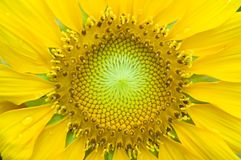 Close-up of sunflower. Close-up of a young sunflower royalty free stock image