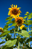 Close-up of sunflower against a blue sky Stock Images