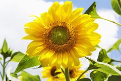 Close up of sunflower against blue sky Royalty Free Stock Photography