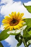 Close up of sunflower against blue sky Stock Photos