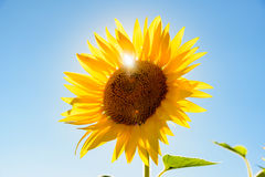 Close up of a sunflower against clear sky and sun. Close up of a sunflower against clear sky royalty free stock photos