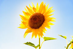Close up of a sunflower against clear sky and sun. Close up of a sunflower against clear sky stock image