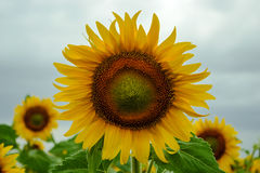 Close up of sunflower against a field. Field of sunflowers . Close up of sunflower against a field royalty free stock photos