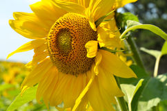 A close-up of sunflower against the sky. On the field Stock Photos