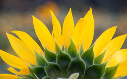 The close-up of the sunflower on the back Stock Photos
