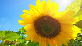 Close-up of sunflower in back light Royalty Free Stock Photo