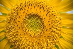 Close-up of sunflower. Stock Image
