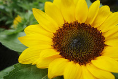 Close up of the sunflower Stock Images