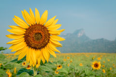 Close-up on sunflower. Stock Images