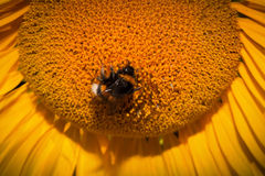 Close up of sunflower with bee Royalty Free Stock Photography