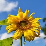 Close up of sunflower with bee Royalty Free Stock Photo