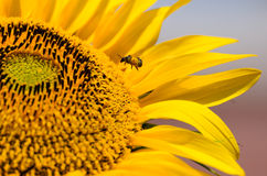 Close-up of sunflower and bee. Royalty Free Stock Images