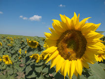 Close-up of a sunflower and a bee Stock Photos