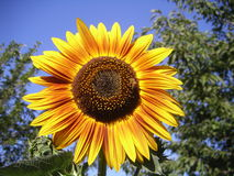 Close up sunflower with bee. A bee taking the pollen from a fully bloomed sunflower Royalty Free Stock Photo