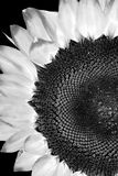 Close up of Sunflower in black and white Stock Photos