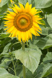 Close up of sunflower Stock Images