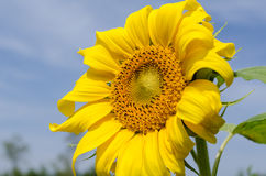 Close up sunflower bloom. With blue sky Royalty Free Stock Images