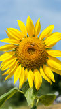 Close up sunflower bloom. With blue sky Royalty Free Stock Photos