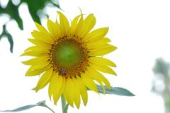 Close up sunflower blossom in a garden on white isolated background stock images
