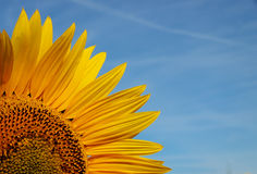 Close-up sunflower with blue sky background Stock Photo