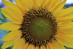 CLOSE UP SUNFLOWER and rain drops on petals pale white background. Close up sunflower stock photos