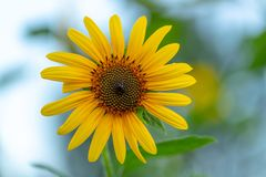 Close up of a sunflower stock images