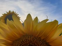 Close up sunflower royalty free stock image