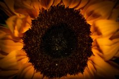 A close-up of a sunflower stock photo