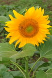 Close up of sunflower in the field.  Stock Image