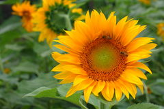 Close up of sunflower in the field.  Stock Images