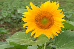 Close up of sunflower in the field.  Royalty Free Stock Images