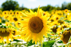 Close up of a sunflower in a field. In Tuscany stock images