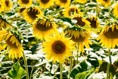 Close up of a sunflower in a field. In Tuscany stock photography