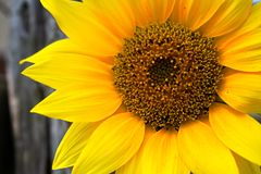 Close up of sunflower in full bloom stock photo