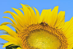Close up sunflower Stock Images