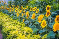 Close up of Sunflower Garden inside of the Singapore Changi Airport Stock Images
