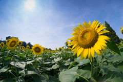 Close Up Sunflower Royalty Free Stock Photography