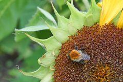 Close-up of sunflower head with bee covered with pollen in summer. Close-up of sunflower head with bumble bee covered with pollen in late summer Royalty Free Stock Images