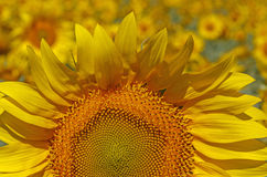 Close up of sunflower head Stock Photos