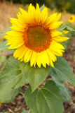 Close up of sunflower head Royalty Free Stock Photography