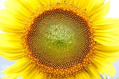 Close up sunflower head Stock Image