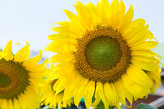 Close up of sunflower Royalty Free Stock Photography
