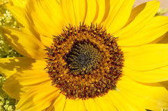 Close-up sunflower. Horizontal orient. Green concept. Beautiful yellow sunflower with black midway. close-up sunflower.  Horizontal orient. Green concept Stock Photo