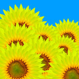 Close up of sunflower Stock Photography