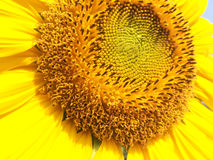 Close up of sunflower. Royalty Free Stock Photography