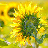Close-up of sunflower Stock Image