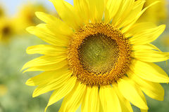 Close up of the sunflower Stock Photos