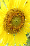 Close up of sunflower plant Stock Image