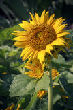 Close up of sunflower plant in park Stock Photography