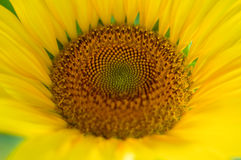 Close up Sunflower Stock Photo